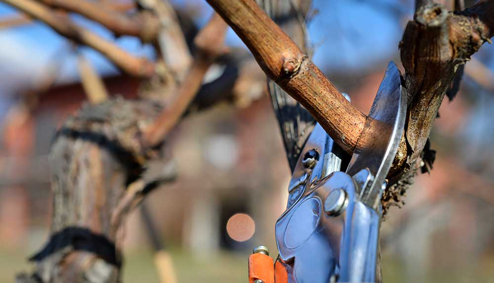 La poda de la vid en invierno: el comienzo de un nuevo ciclo vegetativo