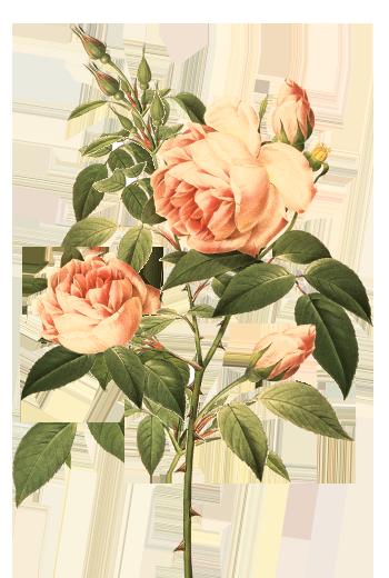 LAUS Rosado